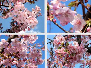 3.11 なばなの里・桜.JPG